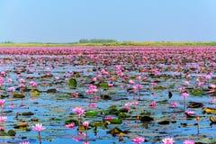 桃红色莲花海在乌隆他尼,泰国 库存照片