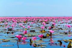 桃红色莲花海在乌隆他尼,泰国 免版税库存图片