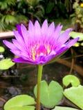 桃红色莲花的关闭是开花和卓著的在池塘 库存图片