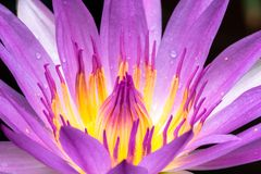 桃红色莲花的花粉和瓣 库存图片