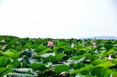 桃红色莲花领域 免版税图库摄影