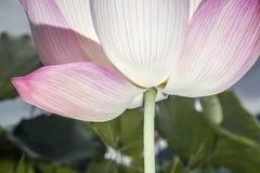 桃红色莲花,中国特写镜头  库存照片