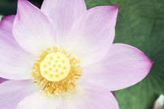 桃红色莲花,中国特写镜头  库存图片