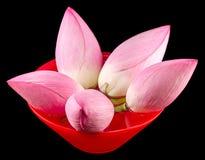 桃红色莲花,在一个红色碗的荷花用水,关闭 免版税库存照片