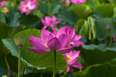 桃红色莲花,特写镜头 库存图片