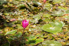 桃红色莲花, Puttaparthi,安得拉邦,印度 特写镜头 免版税库存图片