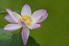 桃红色莲花绿色背景 库存照片