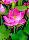桃红色莲花 库存图片