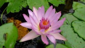 桃红色莲花 Tai花 桃红色花 植被 工厂 和平 自然 泰国 新鲜 特写镜头 宏指令 库存照片