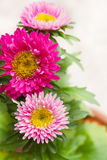 桃红色菊花。 免版税库存图片