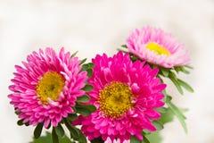 桃红色菊花。 库存图片