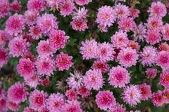 桃红色菊花在庭院里 在一个绿色背景的花 免版税库存图片