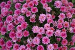 桃红色菊花在庭院里 在一个绿色背景的花 库存图片