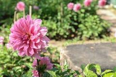 桃红色菊花在庭院里 免版税图库摄影