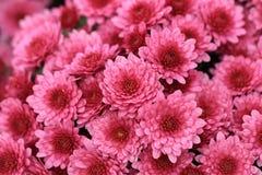 桃红色菊花开花背景的花束 库存图片