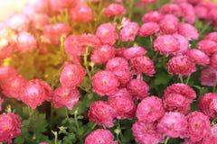 桃红色菊花花园在阳光下 免版税库存图片