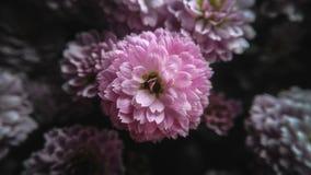 桃红色菊花花 库存照片