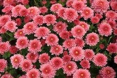 桃红色菊花顶视图开花背景的花束 库存照片