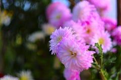 桃红色菊花 库存图片