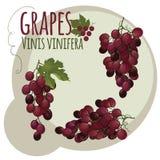 桃红色葡萄在抽象背景 免版税库存图片