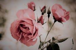 桃红色葡萄酒玫瑰模糊的背景 免版税库存图片