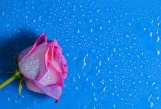 桃红色蓝色表面上的玫瑰芽在小滴水 库存图片