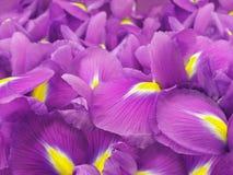 桃红色虹膜花 背景美丽的刀片花园 特写镜头 库存图片