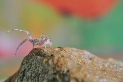 桃红色蜘蛛特写镜头在石头,宏观题材的 库存图片