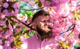 桃红色衬衣的行家在佐仓树附近分支  有胡子的在微笑的面孔的人和髭在花附近 博若莱红葡萄酒 免版税库存图片