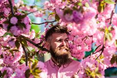 桃红色衬衣的行家在佐仓附近分支  有胡子的在微笑的面孔的人和髭在花附近 和谐与 库存照片