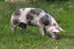 桃红色被察觉的猪在草甸吃草 库存照片
