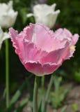 桃红色被装饰的郁金香在庭院里 免版税库存照片