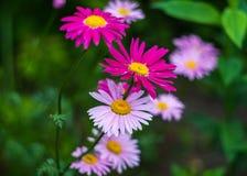 桃红色被绘的雏菊 免版税库存照片