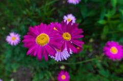 桃红色被绘的雏菊 免版税图库摄影