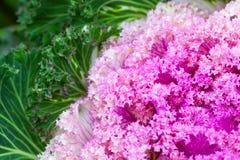 桃红色装饰圆白菜,与选择聚焦的照片 免版税库存图片