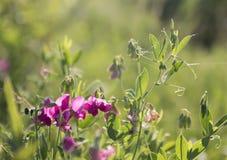 桃红色豌豆在草甸夏天 免版税库存图片