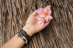 桃红色赤素馨花在妇女` s手上开花 免版税图库摄影