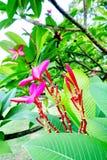 桃红色赤素馨花或羽毛 库存照片