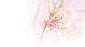 桃红色软性弄脏了花背景,野黑樱桃开花(佐仓 图库摄影