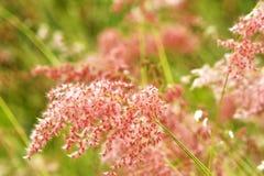 桃红色软的草背景 库存图片