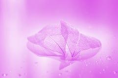 桃红色透明板料 一片最基本的叶子的美好的艺术性的图象 图库摄影