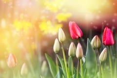 桃红色郁金香和明亮的五颜六色的背景 春天…上升了叶子,自然本底 库存图片