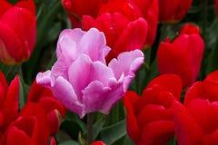 桃红色郁金香和红色郁金香 库存图片