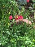 桃红色郁金香和蝴蝶 免版税库存图片