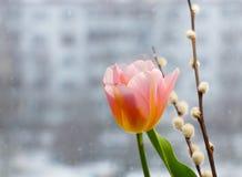 桃红色郁金香和褪色柳在被弄脏的都市背景分支 图库摄影