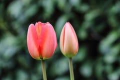 桃红色郁金香在一个庭院里在克赖斯特切奇,新西兰 图库摄影
