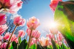 桃红色郁金香在反对天空的阳光下 免版税库存照片