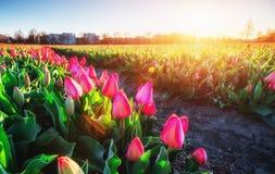 桃红色郁金香在反对天空的阳光下 库存照片