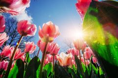桃红色郁金香在反对天空的阳光下 库存图片