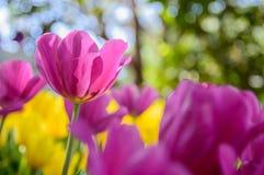 桃红色郁金香在庭院里开花 免版税库存照片